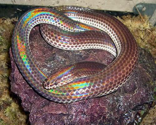 Có vẻ bề ngoài rất đẹp nhưng liệu rắn hổ hành có độc không?