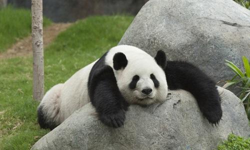 """Gấu trúc là một loài động vật """"vừa béo vừa lười"""""""