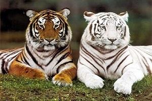 Giới thiệu về loài hổ: Đặc điểm sinh học, phân loại và tập tính sống