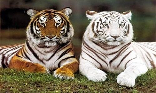 Giới thiệu về loài hổ và những thông tin liên quan