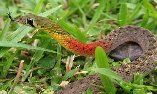 Hình ảnh rắn cổ đỏ
