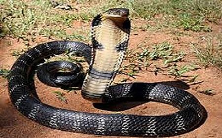 Hình cảnh rắn hổ mang chúa trong tự nhiên