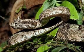 Hình ảnh rắn lục sừng với đôi sừng trên mí mắt