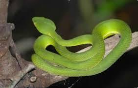 Hình ảnh rắn lục xanh trong tự nhiên