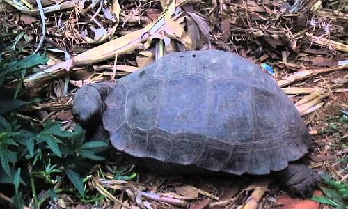 Hình ảnh rùa núi nâu quý hiếm