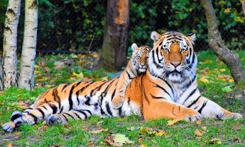 Hổ con thường sống với mẹ cho đến khi trưởng thành