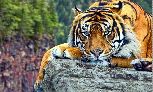 Loài hổ được coi là chúa sơn lâm