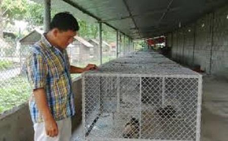 Nuôi con cheo hợp pháp góp phần hạn chế săn bắt trái phép loài động vật này