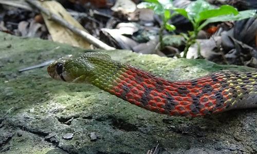 Loài rắn này cỏ phần cổ màu đỏ nổi bật
