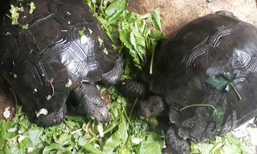 Rùa núi nâu thường ăn rau và lá cây