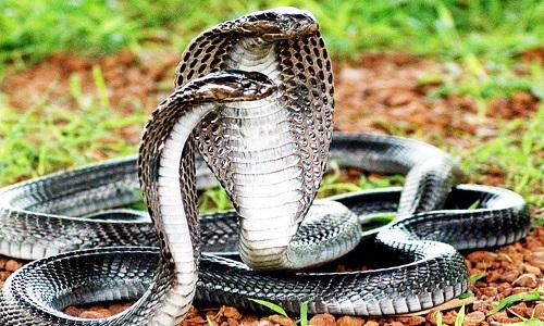 Tìm hiểu về các loại rắn hổ mang ở Việt Nam