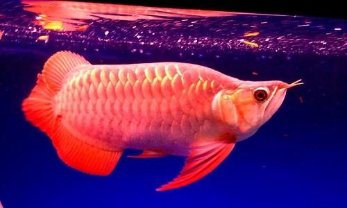 Các loài trong họ cá rồng có màu sắc rất đẹp