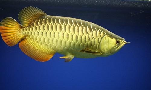 Hình ảnh cá rồng Kim long