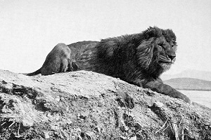 Sư tử Barbary