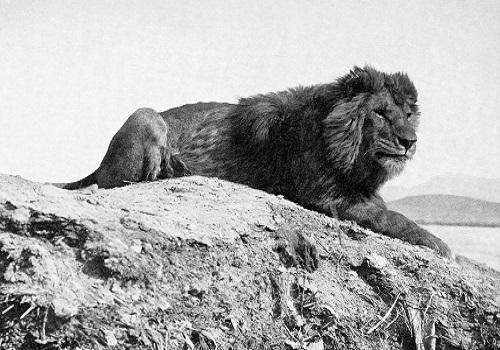 Hình ảnh sư tử Barbary
