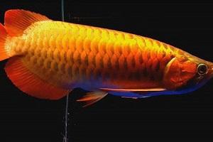 Họ cá rồng: Đặc điểm, phân loại và thức ăn