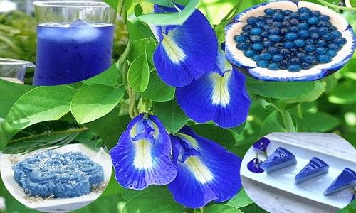 Cây hoa đậu biếc có rất nhiều công dụng trong cuộc sống
