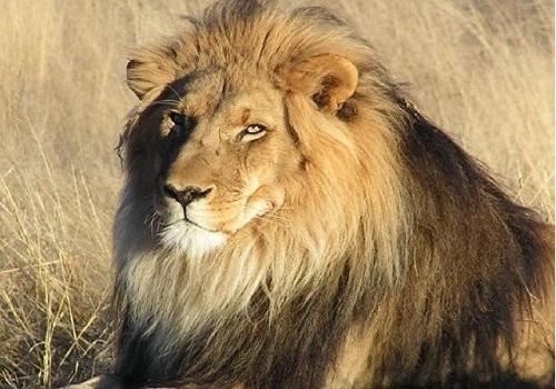 Loài sư tử này sống ở các thảo nguyên và savan rộng lớn