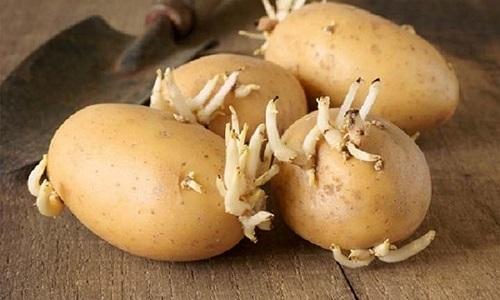 Tuyệt đối không ăn khoai tây mọc mầm